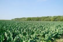 Cauliflower-farm