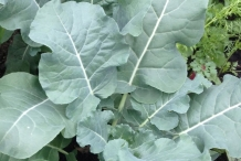 Leaves-of-Cauliflower
