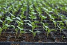 Seedlings-of-Cauliflower