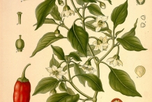 Plant-illustration-of-Cayenne-peppper