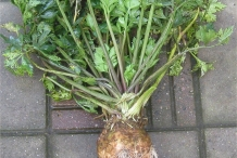 Celeriac-plant