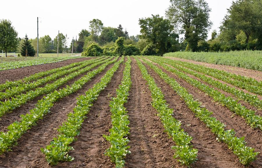 Celery-farm