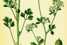 Plant-illustration-of-Celery