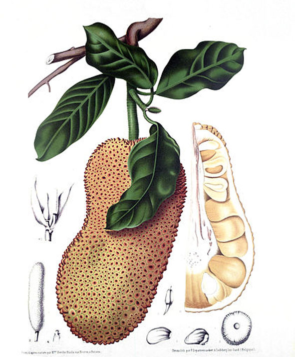 Plant-Illustration-of-Cempedak-fruit