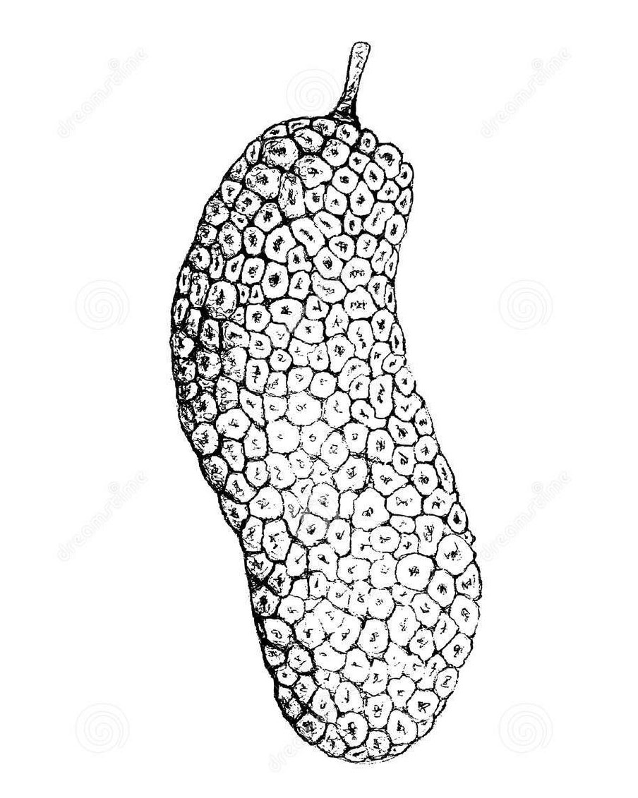 Sketch-of-Cempedak-fruit
