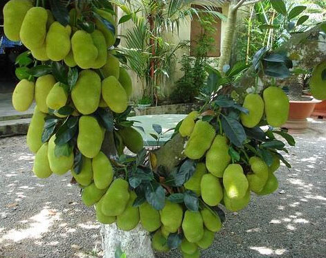 Unripe-Cempedak-fruit-on-the-tree