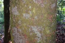 Bark-of-Cempedak-fruit