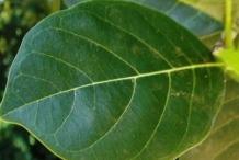 Leaf-of-Cempedak-fruit