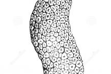 Sketch-of-Cempedak-fruit