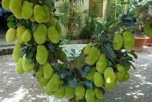 Unripe-Cempedak-fruit-on-the-tree