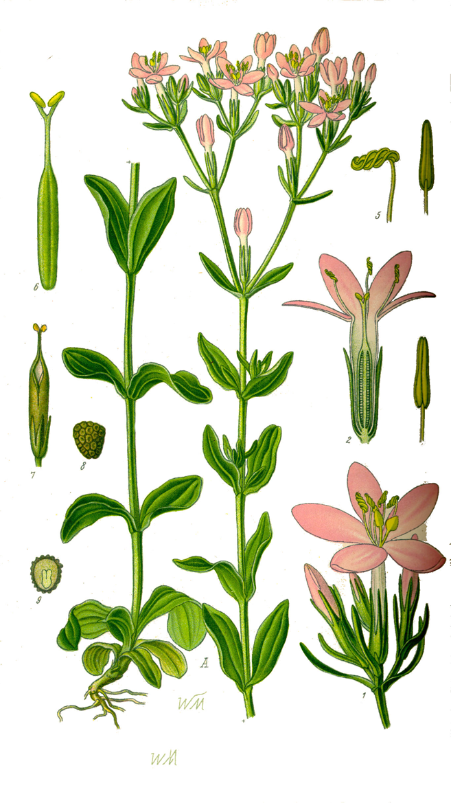 Centaury-Plant-Illustration