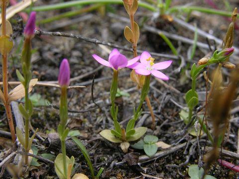 Small-Centaury-Plant