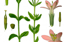 Centaury-Plant-Illustration