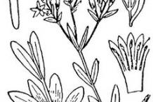 Centaury-plant-sketch