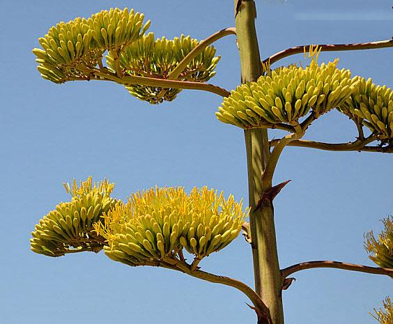 Flowering-buds-of-Century-plant