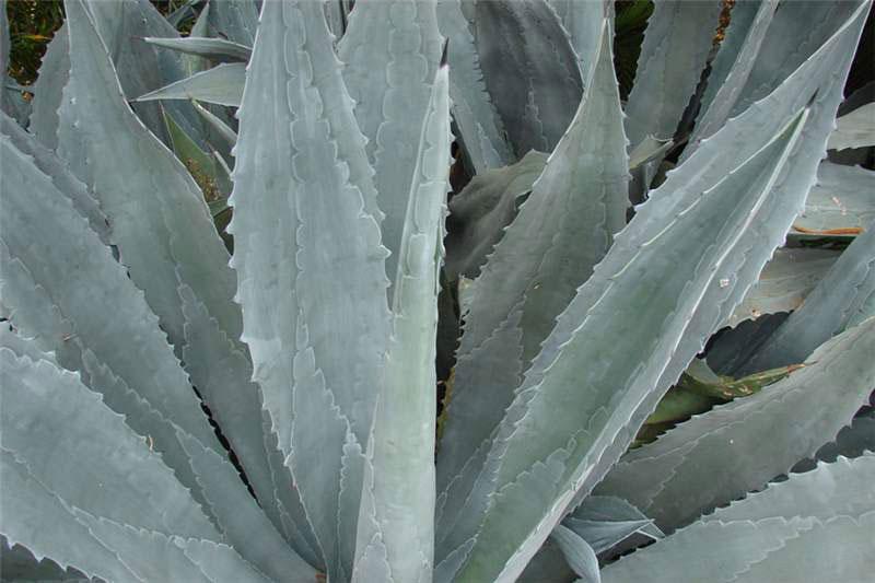 Leaves-of-Century-plant