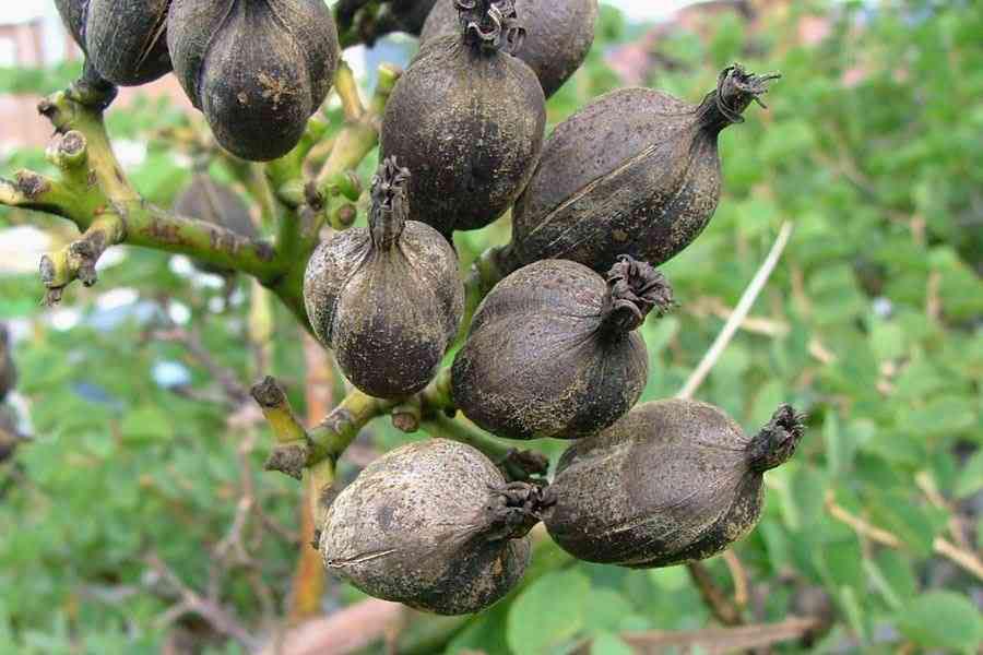 Mature-fruits-of-Century-plant