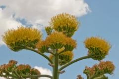Flowers-of-Century-plant