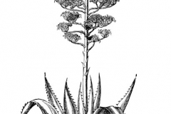 Sketch-of-Century-plant