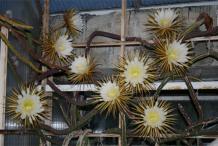 Cereus-Plant