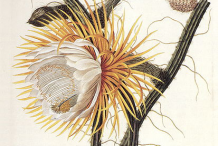 Cereus-Plant-Illustration