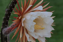 Flower-of-Cereus-Plant