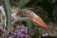Withered-flower-of-Cereus-Plant