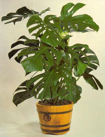 Indoor-Ceriman-plant