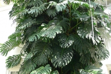 Ceriman-Plant