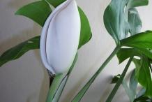 Flowering-bud-of-Ceriman