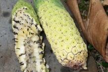 Ripening-Ceriman-fruit
