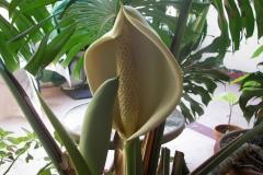 Flower-of-Ceriman