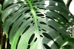Leaves-of-Ceriman