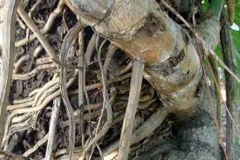 Root-of-Ceriman