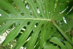 Ventral-view-of-leaves-of-Ceriman