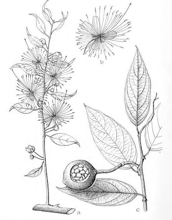 Plant-Illustration-of-Ceylon-caper