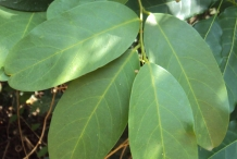 Leaves-of-Ceylon-caper