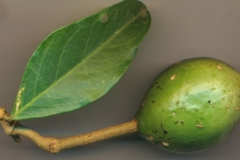 Unripe-fruit-of-Ceylon-caper