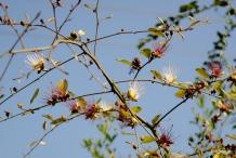 Ceylon-caper-plant