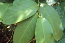 Leaves-of-Ceylon-caper