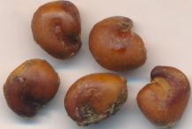 Seeds-of-Ceylon-caper