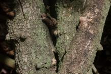 Stem-&-bark-of-Ceylon-caper