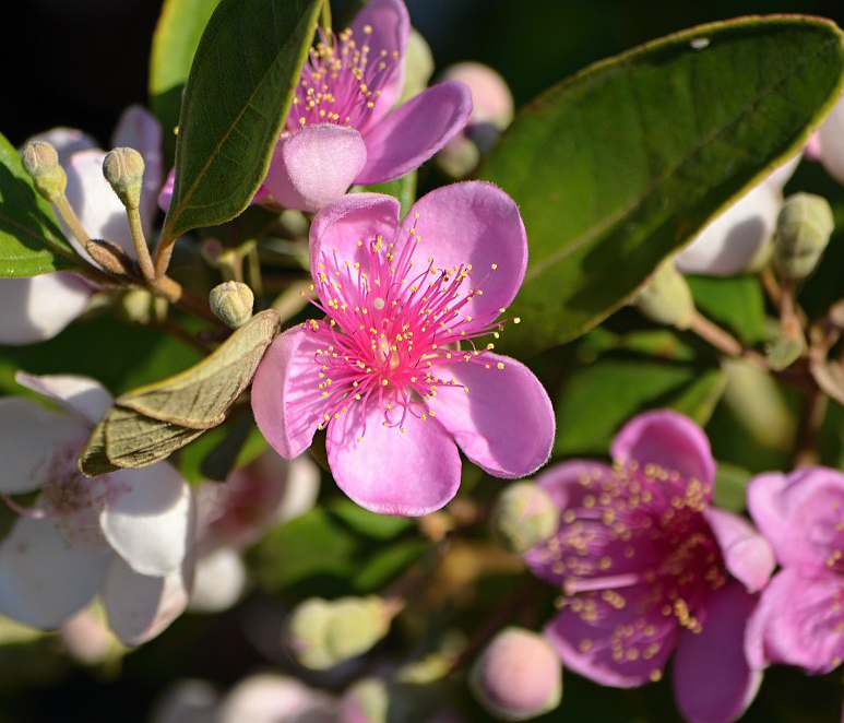 Ceylon-gooseberry-closeup-flowers