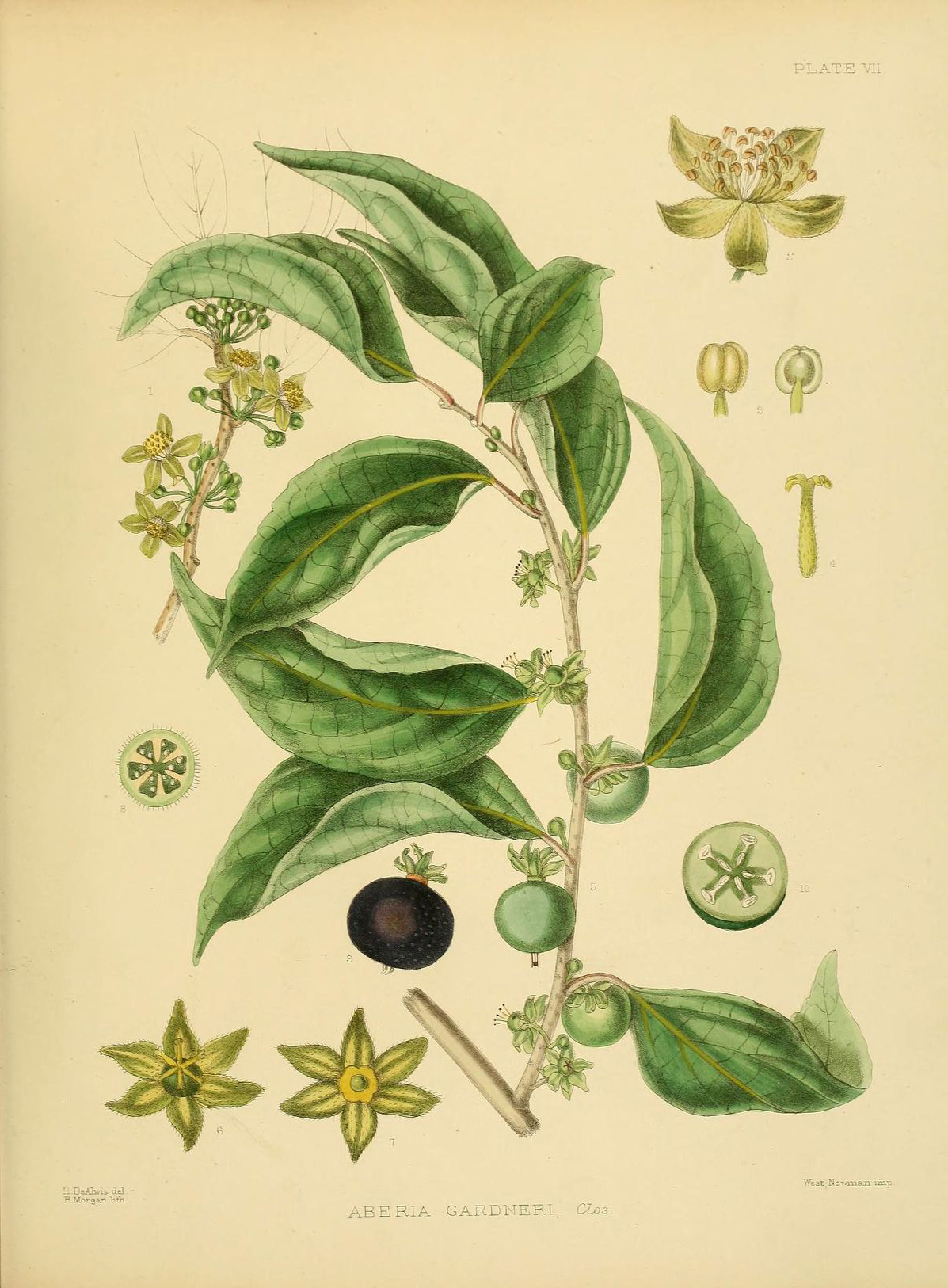 Ceylon-gooseberry-illustration