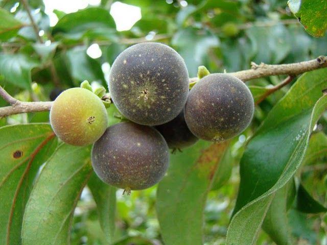 Ceylon-gooseberry-purple