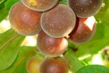 Ceylon-gooseberry-red