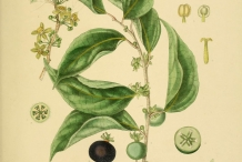 Ceylon-gooseberry-illustration