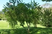 Ceylon-gooseberry-tree