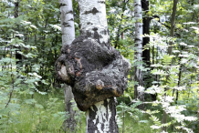 Chaga-Growing-wild