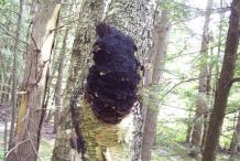 Chaga-mushroom-on-the-birch-tree